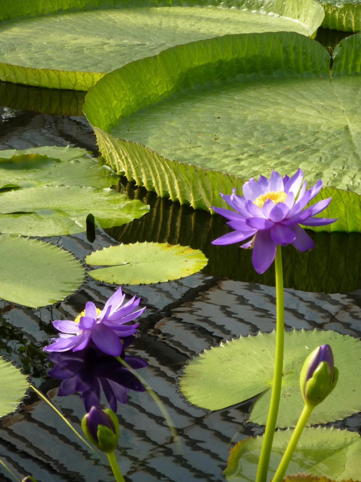 Nénuphars violets dans une mare